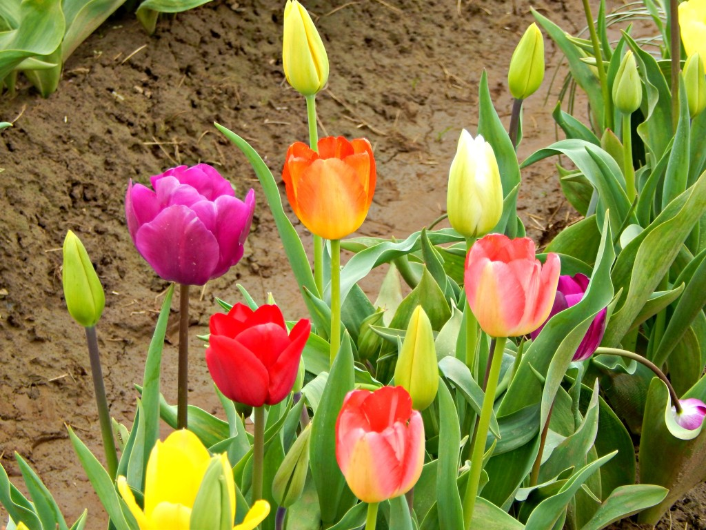 woodburn-tulip-festival-37